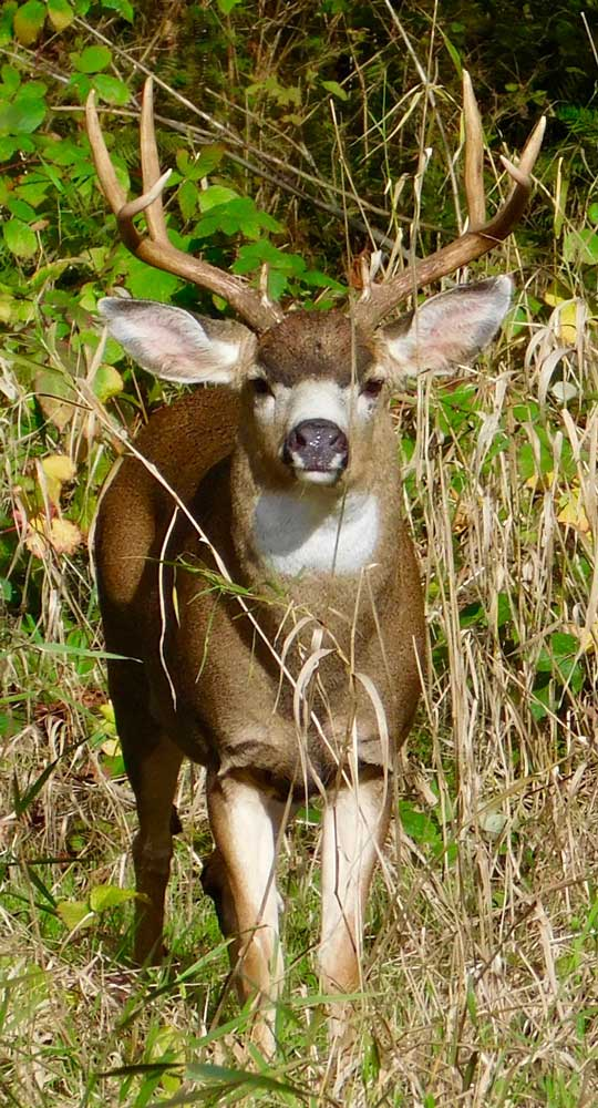 buck-deer.jpg